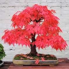 Japanese Red Maple Bonsai.  Deciduous small trees and shrubs, with opposing odd-numbered (anything from 5-11) pointed leaves, native to Japan, China and Korea. There are at present hundreds of varieties in cultivation. Palmatum species are separated from other Acer species within their genus by way of their 5 pointed leaves. They are very popular for use as bonsai due to their ready ability to respond to most bonsai techniques, beautiful foliage and graceful branch structure. Deer resistant.