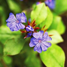 One of our favorite ground covers, leadplant is a tough little plant that thrives in sun or shade.