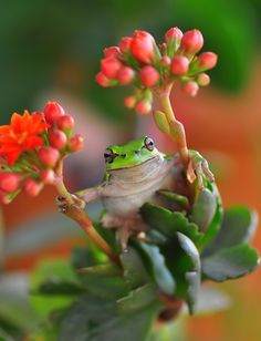Green Tree Frog  by Mustafa Öztürk, via 500px