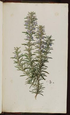 Rosemary - Small to medium shrub with showy blue flowers loved by bees - Can be kept clipped to any height - Fresh or dry leaves used for seasoning - Rosmarinus officinalis - circa 1806