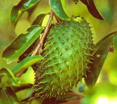 Soursop, From Trinidad and Tobago.  So good as a smoothie or home made ice cream !!!!!!!!