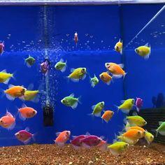 How many GloFish in a 10 Gallon Tank 🐠 (Stocking Guide) Freshwater Aquarium Fish, Aquarium Fish Tank, Colorful Fish, Tropical Fish, Aquarium Live Wallpaper, Cool Fish Tanks, Wallpaper Nature Flowers, Beautiful Sea Creatures, Fete Halloween