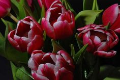 How to care, repot, propagate, cultivate, decorate, feed, water and more information about Tulipa (Tulip)