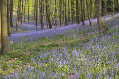 het hallerbos, vlakbij halle , is het jaar rond een heerlijke wandelplek, maar vanaf midden april is het er pas echt magisch. dan kleuren duizenden hyacinten de bodem hemelsblauw. het hallerbos is met zijn 552 hectare een van de grootste en belangrijkste in vlaams-brabant. het wordt van noord naar zuid doorsneden door vijf grote ravijnen. het bos heeft een typisch heuvelachtig landschap. op de toppen van de hellingen wandel je tussen beuken, eiken en boshyacinten; tegen de hellingen aan…