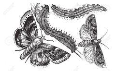13770828-Owlet-moth-or-Noctuidae-vintage-engraving-Old-engraved-illustration-of-an-Owlet-moth--Stock-Vector.jpg (1300×819)