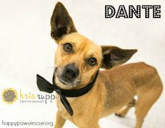 Adoptable Chihuahua & Miniature Pinscher Mix in central NJ: Dante's favorite game is to getting you to pay all of your attention to him during a fun game of chase. Dante also really enjoys playing with toys and canine pals. This debonair little guy even gets along well with cats. All he wants in return is love. Cuddling under the blanket sends him over the moon! Dante'€™s dreams are filled with wishes for love, snuggles, and fun from a family of his very own.  happypawsrescue.org