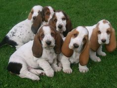 16 Reasons Basset Hounds Are Not The Friendly Dogs Everyone Says They Are