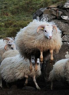 The Mighty Icelandic Sheep jumping