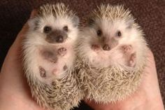 Hedgehogs are exotic pets.They have only been kept as pets for a couple of decades.