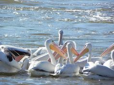 White Pelican migration stop on the Arkansas River in North Little Rock, AR TRAVEL ARKANSAS BY  MultiCityWorldTravel.Com For Hotels-Flights Bookings Globally Save Up To 80% On Travel Cost Easily find the best price and ...