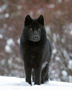 Black Wolf by © johnemarriott