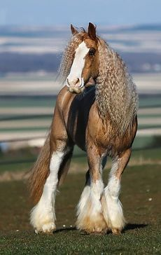 Palomino Gypsy horse ~ Love the wavy mane. Most Beautiful Horses, All The Pretty Horses, Animals Beautiful, Cute Animals, Big Horses, Cute Horses, Horse Love, Black Horses, Wilde Mustangs