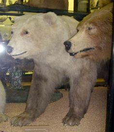 urso+urso polar= URSO Grolar Pizzly