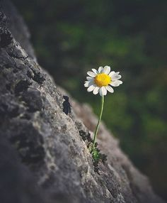 60 Ideas Wall Paper Flores Margaritas For 2019 Amazing Flowers, Wild Flowers, Beautiful Flowers, Beautiful Pictures, Daisy Flowers, Bloom Where Youre Planted, Daisy Love, One With Nature, Mother Nature
