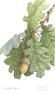 Quercus robur**