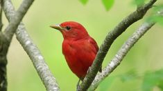 Summer Tanager male. May 18, 2015.  Heard the call first then spotted it in the top of the Empress Tree on a dead limb so I was able to get a good look at it.