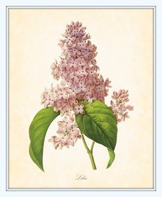 Antique Lilac Botanical Print by JP Redoute