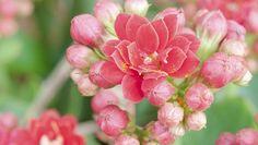 PEDRO HITOMI OSERA: Como plantar calonchoê