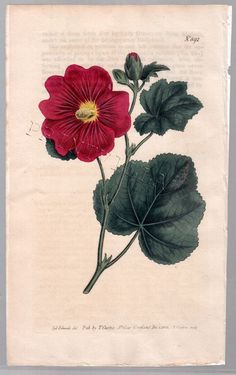 Althaea Hand Colored Flower Print by Syd Edwards! Gorgeous Print!!!