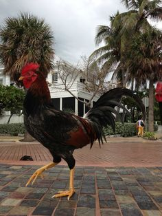 Roosters and chickens in KW, I refer to  them as Key West Squirrels because they are every where.