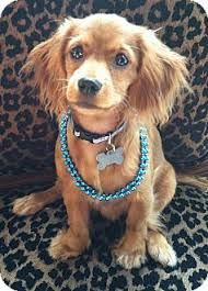 Image Result For Spaniel Dachshund Mix Cocker Spaniel Mix