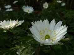 Anemone nemorosa 'Pleugers Plena' Anemone Hepatica, Wood Anemone, Moon Garden, White Flowers, Planters, Beautiful Flowers, Bonito, Shade Perennials, Plant