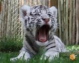 Are you afraid of me? I'm pretty positive you are. Baby White Tiger, White Tiger Pictures, Tigger, Cute Babies, Illustration, Animals, Tiger Cubs, Google Search, Check