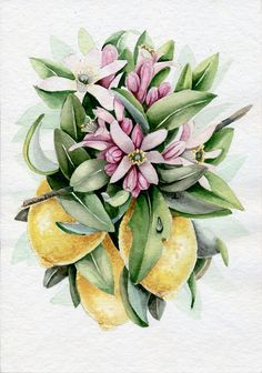 Lemon Blossom. Watercolor Botanical Illustration. by Limkina