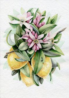 Lemon Blossom. Watercolor Botanical Illustration. by Limkina