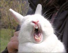 Bunny yawn