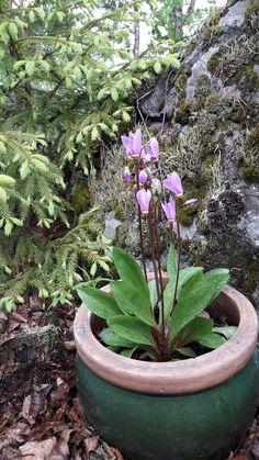 Ruukkukukka? #jumalten kukka #flower #kivet #kuuset #kesä #Dodecatheon