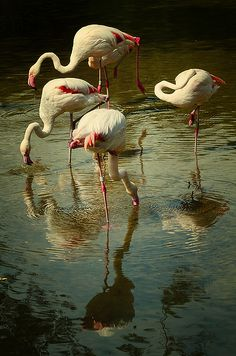 Flamingos - JPG Photos