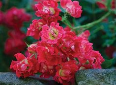 Red Drift® Rose | Star Roses & Plants - recommended by Domino for small spaces