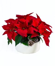 Vibrant red poinsettias are featured in a stylish low ceramic dish. A classic that adds warmth to any setting. #BlossomFlowerShops