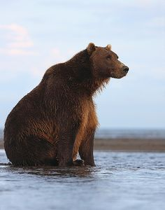 Brown Bear Waiting For The Salmon by scott cromwell, via Flickr