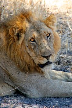 Africa Tanzania (Tanzania) Tanzania, Safari, Lion, Africa, Animals, Leo, Animales, Animaux, Lions
