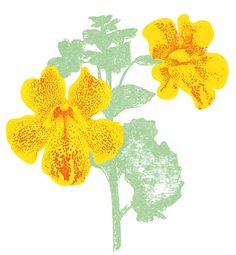 Specie No 2: MIMULUS X HYBRIDUS »MAGIC YELLOW FLAME«