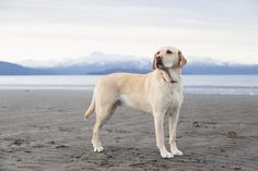 Labrador Retriever Dog Breed Information, Pictures, Characteristics & Facts - Lab Love - Dogs Loyal Dog Breeds, Loyal Dogs, Best Dog Breeds, Pet Breeds, Puppy Obedience Training, Basic Dog Training, Training Dogs, Bearded Collie, Labrador Retrievers