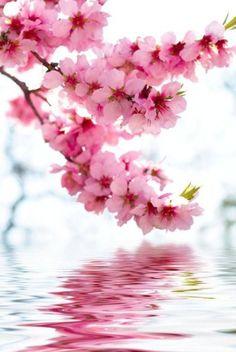 sakura.................. ............................ Uma delicadeza de cores e formas... ~Sol Holme-~