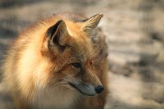 Find details on the Mississippi Land Mammal, the Red Fox. Access Mississippi other symbols. Funny Animal Names, Funny Animals, Fox Spirit, Spirit Animal, Fox Symbolism, Fox Totem, Fox Pictures, Crafty Fox, Military Camouflage