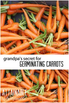 Growing Vegetables Carrots can be a bit persnickety to germinate. Luckily, my grandpa taught me this trick to get them started in the vegetable garden easily! Garden ~ prepping ~ homestead ~ grow your own ~ seeds ~ vegetables - Growing Carrots From Seed, Growing Veggies, Growing Plants, Gardening For Dummies, Gardening Tips, Kitchen Gardening, Flower Gardening, Container Gardening, Grow Your Own Food