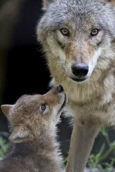 - A Mongolian wolf pup, at Zoo Zurich in Switzerland.