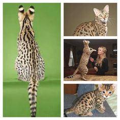 Bengal Cat! Must have<3