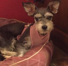 Anastasia is an adoptable Schnauzer searching for a forever family near Homer Glen, IL. Use Petfinder to find adoptable pets in your area.