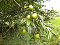 UBANAXICA (Myrciaria strigipes)  Frutifica nos meses de outubro a dezembro. Os frutos são deliciosos para serem consumidos in-natura e podem aproveitados para fazer sucos, doces e sorvetes. A árvore é ornamental, as flores são melíferas e é uma espécie ideal para arborização urbana de ruas, praças e parques. É uma espécie rara e precisa ser cultivada para ser preservada.