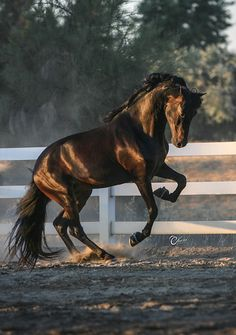 Gorgeous dark bay horse