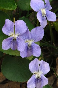 Wood Violet: The moisture-loving wildflower commonly makes itself at home in woodlands, stream banks, and well-watered lawns. Violets are self-sowing, hardy groundcovers that bloom profusely over long periods in summer and may self-seed freely.   Photo: John W Bova/Photo Researchers/Getty