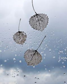 marianna armata - wet leaves on a rainy window.