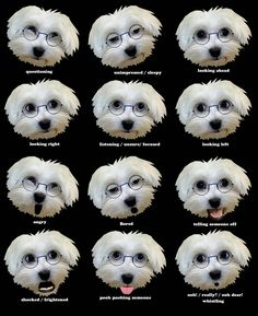 How to read Maltese dog facial expressions...
