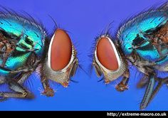FLY-EYES - xtreme macro two flies